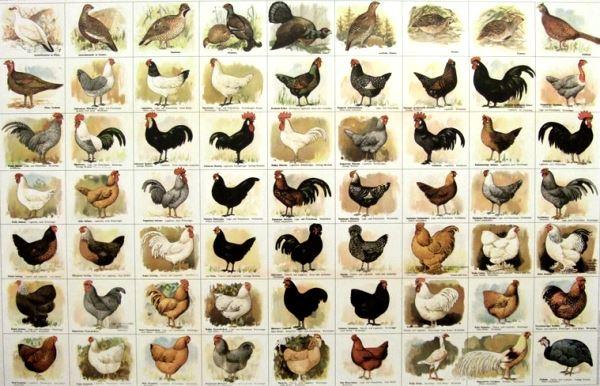 Verschiedene hühnerrassen